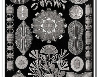 Black and White Art, Ernst Haeckel Scientific Illustration, Haeckel Print, Poster, Educational Art, Biology Print, Prints and Posters
