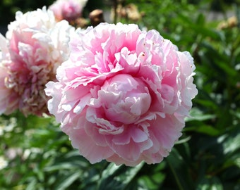 Pink Peony, Flower, Nature Photography, Beautiful, Print