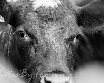 Soulful Cow Closeup