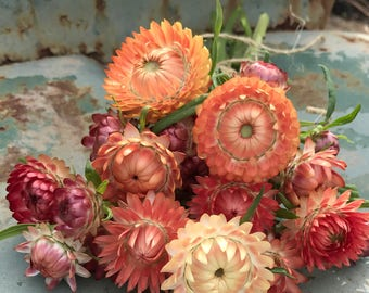 Strawflower Seeds, Peach Mix Strawflowers, Helichrysum Seeds, Great for Dried Flowers, 45 Seeds of Mixed Peach Shade Strawflower Seed