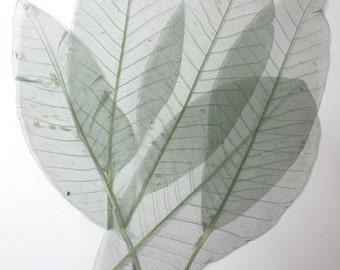 60 pc Beautiful Preserved Dried Skeleton Leaves Light Green Autumn Wedding Cottage Shabby Decor Botanical Wholesale Craft Leaf