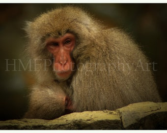 Snow Monkey Photography (Immediate Download)