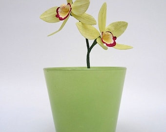 Sugar Cymbidium Orchid