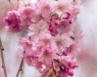 Pink Flowering Cherry Tree Blossoms Photo,Romantic Pink Shabby Chic Decor,Pink Nature Photo, Dreamy Flower Garden Art, Southern Home Decor