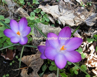 5 x 7 Photograph - Crocus in the spring