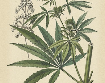 Vintage Cannabis Art Print - Botanical Cannabis Poster - Antique Botanical Style Wall Art - Museum Quality