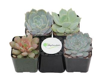 "2""- Rosette Succulent Plant Collection - live succulents, potted succulents, bulk succulents, wholesale succulents, succulent gifts"