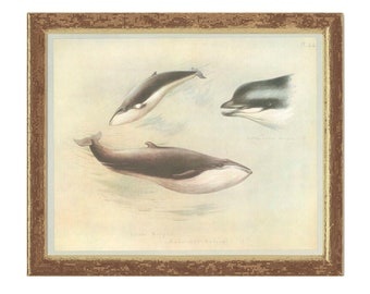 Rudolphi's Rorqual, Bottlenose Whale, Vintage Print, Thorburn Painting 1979/44, Natural History, Woodland, Frameable Art