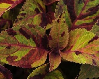 Whimsically Colorful MIGHTY MOSAIC Coleus (6 pack)