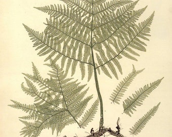 """Antique Botanical Print """"Fern Specimen 003"""" Vintage Floral Fine Art Woodland Print - Natural History Art Print"""