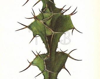 Cactus Print,  Botanical Print, Art Print, Home Decor, Book Plate, Illustration, Wall Decor, Euphorbia grandicornis, A-14