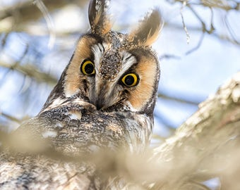 long eared owl, Photograph, owl, picture of owl, print, cute, owl, wall art, fine art, free shipping domestic