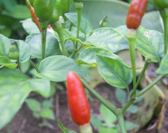 Thai chilli seeds,C. furtescens, heirloom seeds from our organic garden