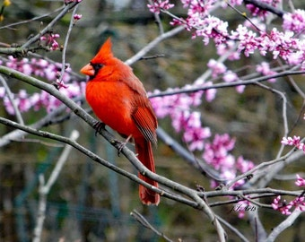 Male Cardinal in a Redbud Tree