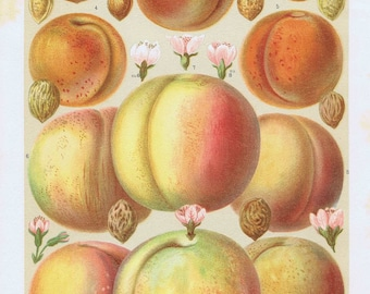 antique print peaches and apricots 1895