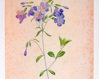 Phlox - Redoute Botanical Print - 1979 Vintage Flowers Book Plate p246