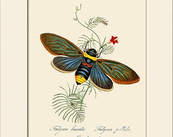 Cicada Indica, India Insect, Edward Donovan, Art Print with Mat, Note Card, Natural History, Wall Art, Wall Decor, Vintage Insect Print