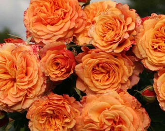 Crazy Love ™ Sunbelt ® Shrub Rose Heat Loving Reblooming Fragrant Apricot Orange Flowers - Own Root Rose Potted - Non-GMO SPRING SHIPPING