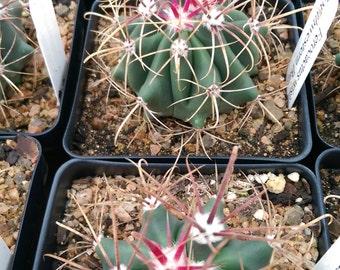 Ferocactus wislizeni - Southwestern Barrel Cactus