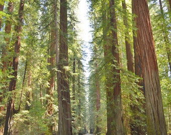 Avenue of the Giants, Landscape Photography, Northern California
