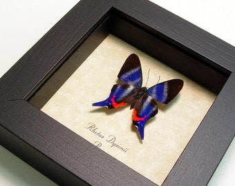 Framed Butterfly Real Sapphire Butterfly Conservation Quality Display 114