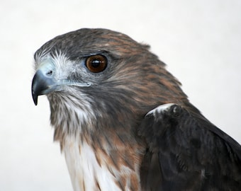 Red Tail Hawk Photograph, Bird Photo, Nature Photography