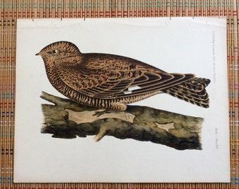 Western Night Hawk:  Beautiful Full-Color Plate, R
