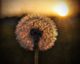 Dandelion Wishes 5x5 Fine Art Photograph, Sunset, Garden, Green, Nature, Wall Décor, Minimalist