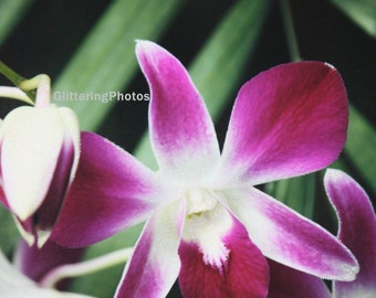 Blooming Orchid, Deep Pink, Orchid, Phipps Conservatory, Fine Art Photography, Flower Photography, Nature Photography, Pittsburgh PA