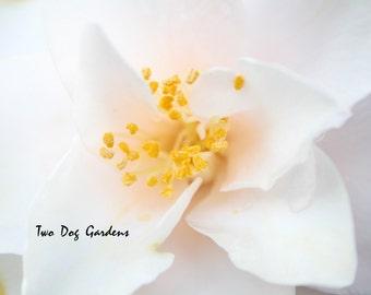 White Blush - 5x7 Fine Art Photograph
