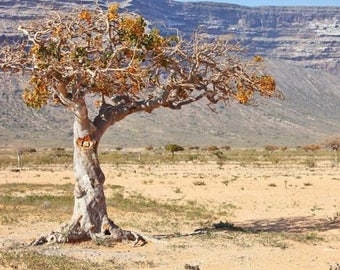 Myrrh (Commiphora myrrha) Organic Wild Essential Oil