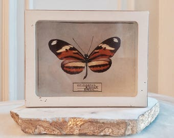 Vintage Boxed Butterfly Specimen / Cabinet of Curiosity Object
