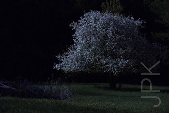Crabapple tree blooming by moonlight, Western Massachusetts