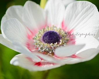Poppy - white poppy - Fine Art Photographic Print