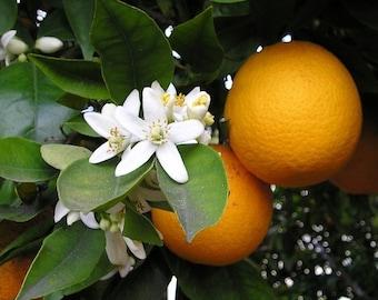 Orange Blossom - Home Fragrance Oil - Warmer / Burner Oil - 2 Fluid Ounces