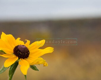 Brown Eyed Susan Flower digital backdrop