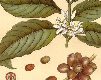 1906 Coffee Plant Chromolithograh Botanical Illustration