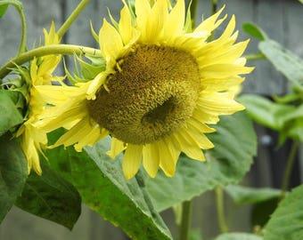 Sunflower Photograph - Nature Flower - Tender Yellow Sunflower - Flower Art - Nature Photograph - Flower Photography