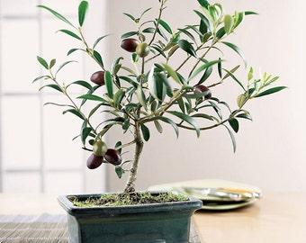 10 OLIVE Tree (Olea Europaea) Seeds