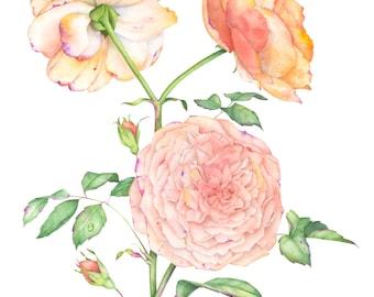 English rose. Botanical illustration. Fine art watercolor print.
