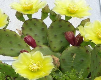 Opuntia humifusa Prickly Pear Cactus 5 seeds