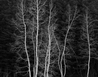 Photo Note Card / aspen trees - North Rim / Black and White