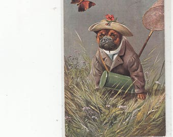 Humanized Pug Dog In The Country Catching Butterflies Antique Postcard-Straw Hat-Coat-Net-Container-Scarce Must See-Circa 1910s