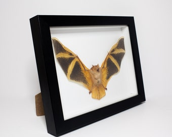 REAL Painted Bat in Frame (Kerivoula picta) UK - Taxidermy, Fire Bat, Insect Bat, Orange