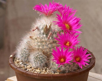 Pink flower cactus etsy mammillaria guelzowiana pink flowers cactus critically endangered 50 seeds mightylinksfo