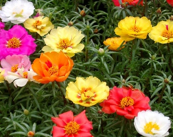 Aprox 2000(0,2 g) PORTULACA GRANDIFLORA seeds fresh best before 2019 double flowers MIX colors