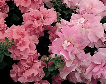 Cascade ORCHID MIST PETUNIA Seeds - Pink shades, Huge, Double Blooms, High Germination, Fresh (30 - 35 seeds)