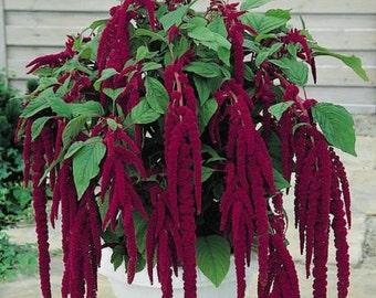 Love Lies Bleeding Amaranth, ornamental veggie heirloom 50+ seeds