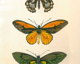Ornithoptera Croesus - Birdwing Butterfly