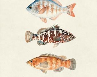"Vintage Fish ""Les Poissons"" Print 8x10 P30"